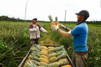 Proposta visa valorizar e fortalecer o aprimoramento das técnicas de cultivo e manejo do abacaxi utilizadas na região (Divulgação/FPS)