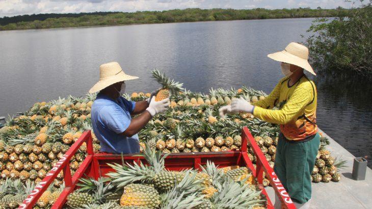 A previsão dos produtores é que safra de 2021 ultrapasse 90 milhões de frutos (Arlesson Sicsú/Revista Cenarium)