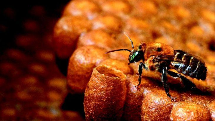 Com propriedades terapêuticas comprovadas, o mel das abelhas da Amazônia, se tornou fonte de renda para as comunidades das reservas sustentáveis do Amazonas (Reprodução/Internet)