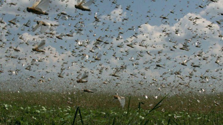 Cada quilômetro quadrado dessa nuvem existem cerca de 40 milhões de insetos. (Reprodução/ Internet)