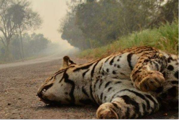 Onça não resistiu ao calor extremo e à fumaça causada pelos incêndios florestais no Pantanal brasileiro (João Paulo Guimarães/ Divulgação)