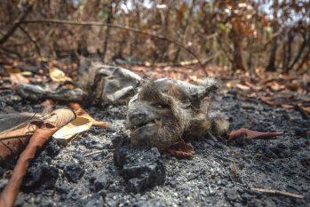 Na rota da expedição, fogo, destruição e morte da fauna e da flora, na terra indígena Alto Rio Guamá (Reprodução/João Paulo Guimarães)