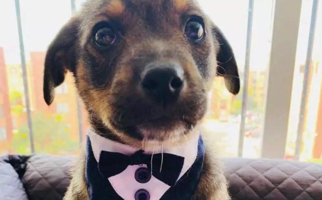 Vicente, o cãozinho colombiano que comoveu as redes sociais em busca de uma família para adoção (Divulgação/Fundación Rescatáme)