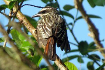 A viagem do pássaro 'mochileiro' faz parte de um estudo sobre a rota migratória de pássaros comuns (Reprodução/internet)