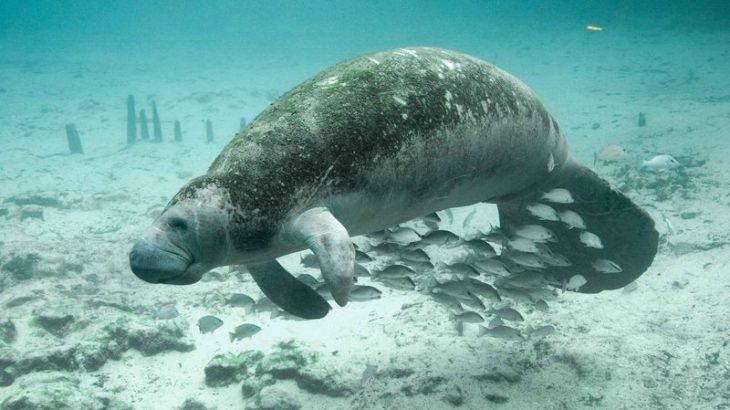 Em vida há 40 milhões de anos, os Sirenia eram seres semiaquáticos (Reprodução/ Internet)