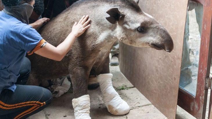 Alguns dos animais atendidos puderam ser translocados imediatamente para áreas não afetadas pelo fogo; outros foram resgatados e passaram por atendimento veterinário (Divulgação/ Ibama)