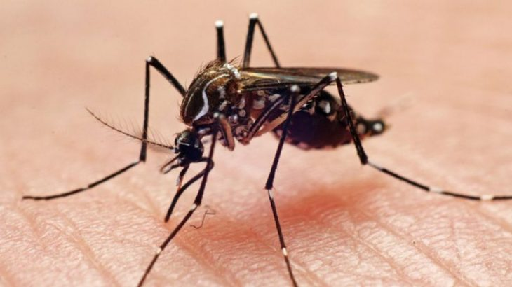 The Aedes aegypti mosquito is the main transmitter of dengue, zika and chikungunya in urban regions of Brazil (Reproduction/ Internet)