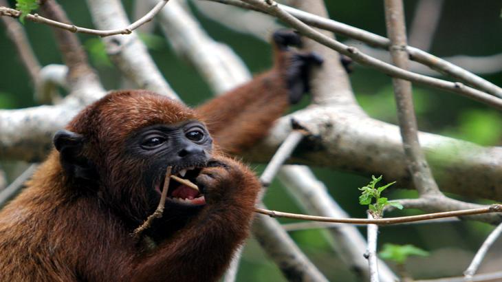 macaco guariba