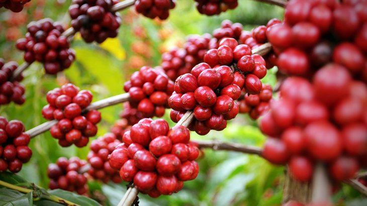 Rondônia é o estado que mais produz café na Região Norte do país (Ésio Mendes/Café Rondônia)