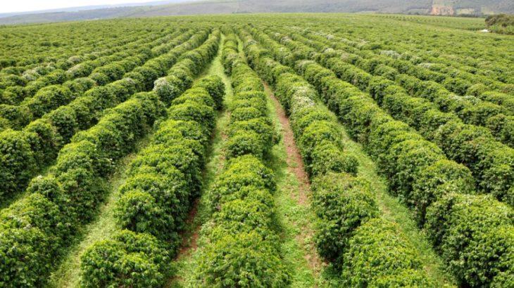 Este café especial é responsável 6,3% do Valor Bruto de Produção do Estado, equivalente a R$ 3 bilhões. (Reprodução/ Rural centro)