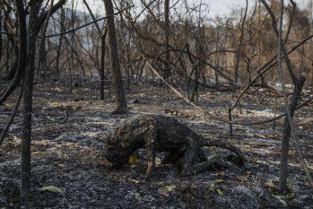 Corpo de macaco bugio carbonizado por um incêndio florestal que atingiu a fazenda Santa Tereza, na região da Serra do Amolar, no Pantanal do Mato Grosso do Sul (Lalo de Almeida/Folhapress)