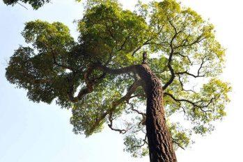 Registro mostra árvore de peroba-rosa, uma espécie de árvore da família das apocináceas, considerada nobre. (Reprodução)