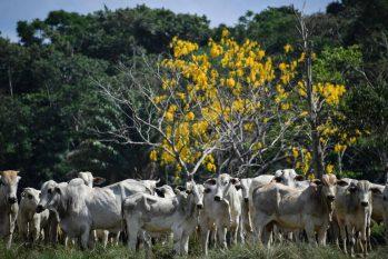 Rebanho bovino no Pará: produção de carne para China é suspensa (Nelson Almeida/AFP)